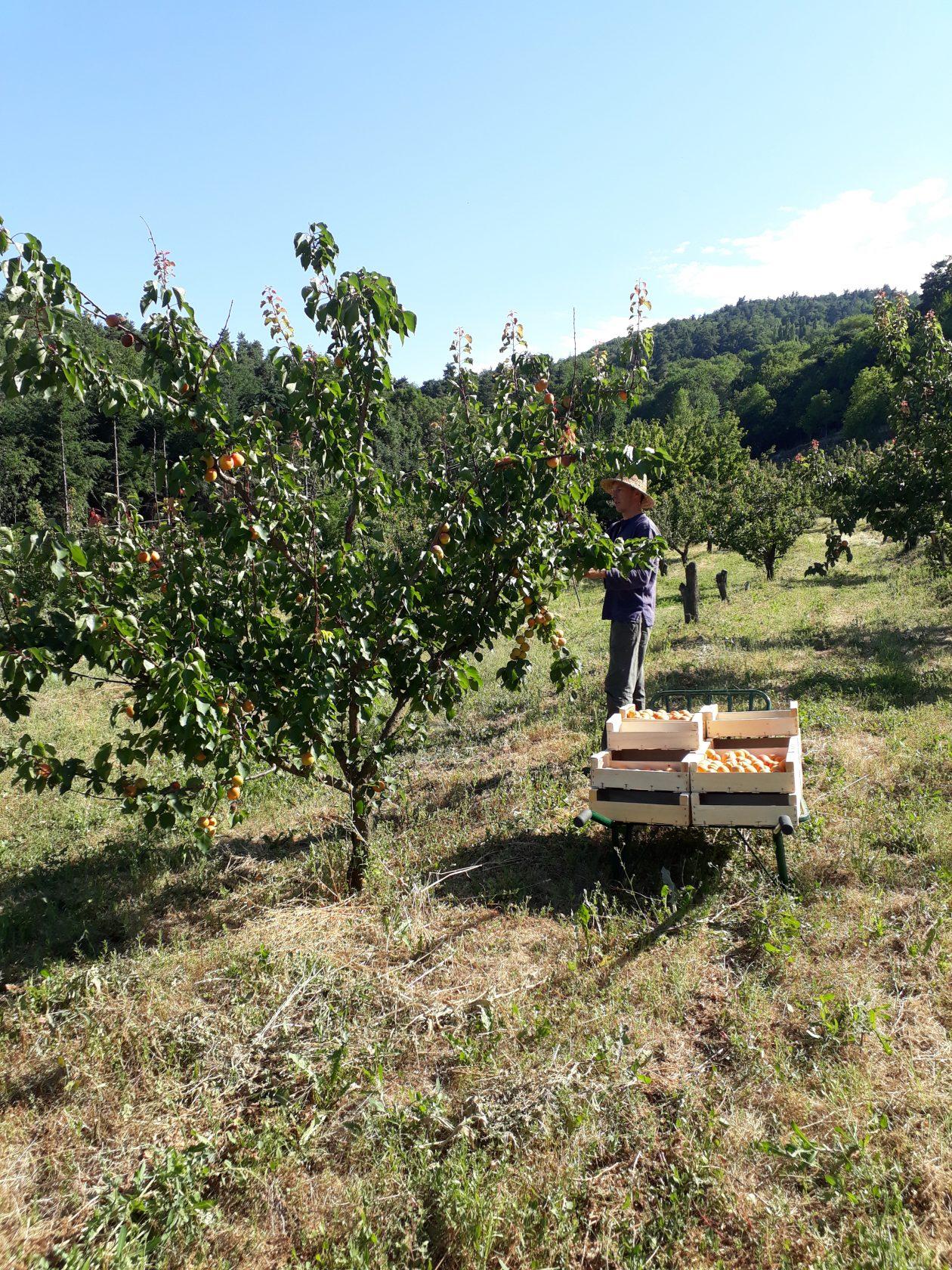 Récolter les abricots, comme un air… d'épopée!